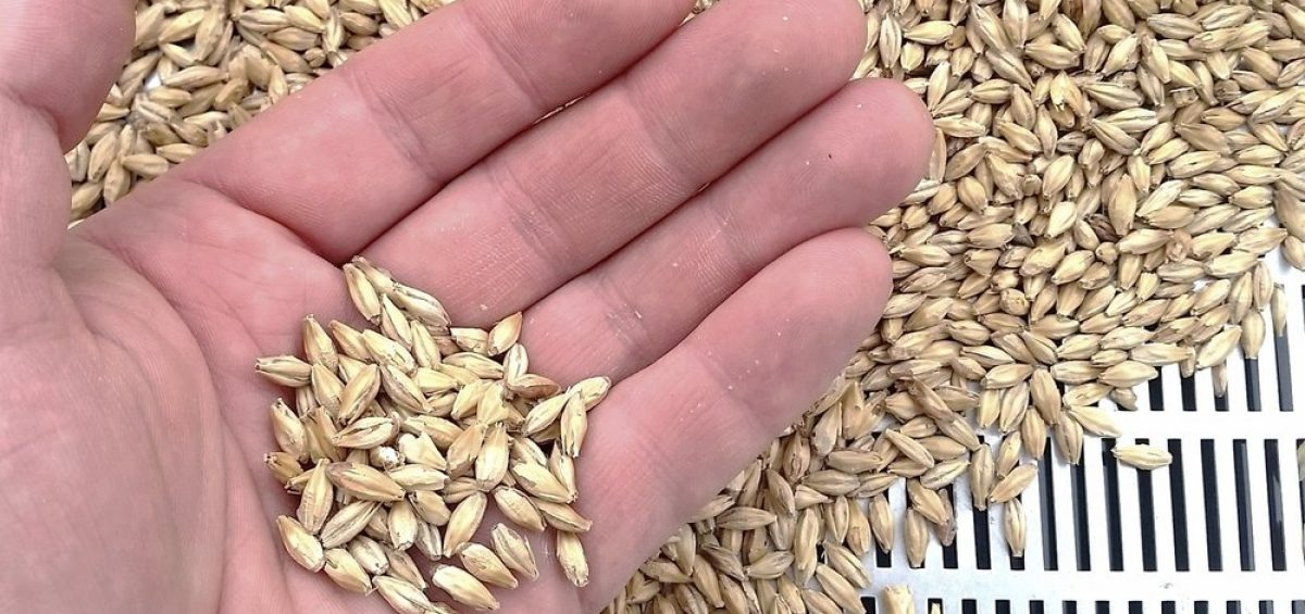 Barley grains in hand