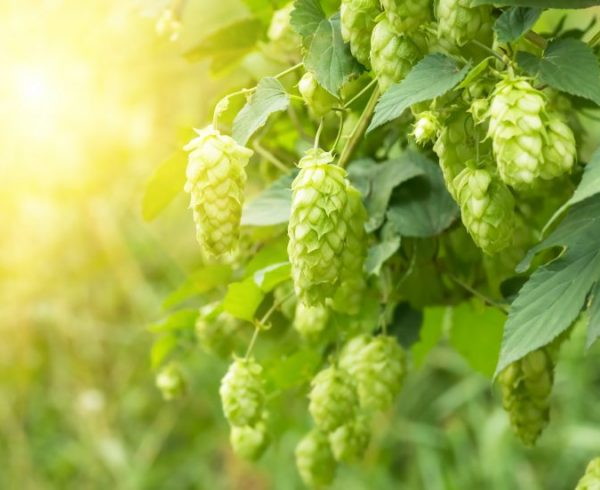 Green fresh hop cones for making beer and bread closeup, agricultural background