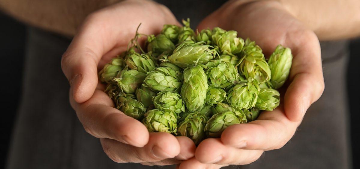 Man holding fresh green hops, closeup. Beer production