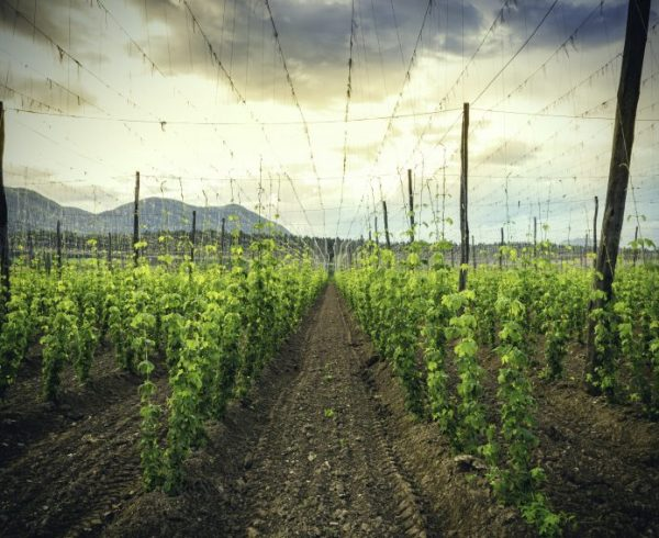 Hops Field - Cloudy Sky. Plantation of hops in the sunset. Hop life cycle