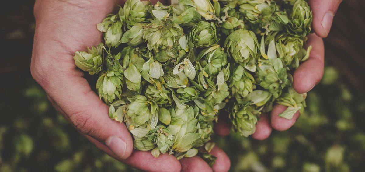 Whole leaf hops for beer in cupped hands on the Hop & Brew School Podcast.